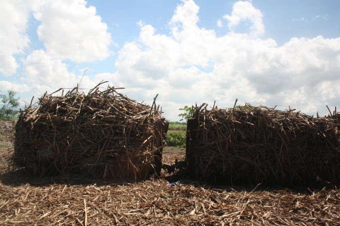 Sugarcane is loaded in trucks or train carts to be transported to the mill.