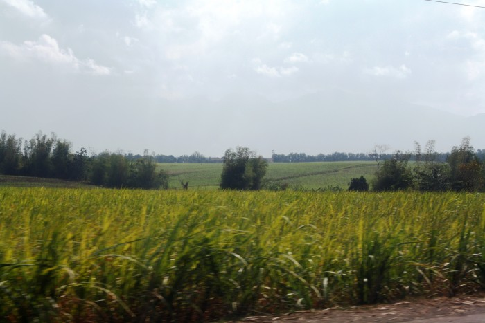 Sugarcane plantations are found everywhere in the Negros Island.